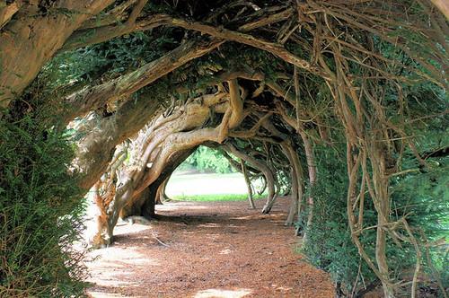 Aberglasney tree tunnel, Wales