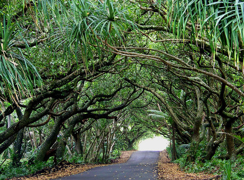 Hawaii tree tunnel