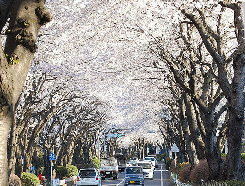 Kanagawa tree tunnel, Japan