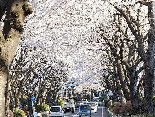 Kanagawa tree tunnel, Japan