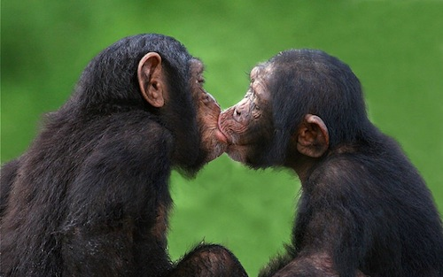 Chimpanzees